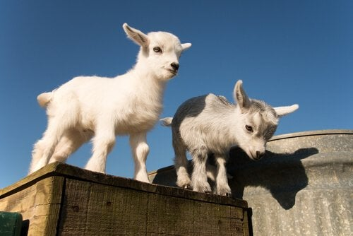 Two pigmy goats about to jump down.