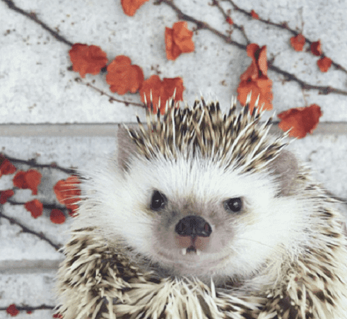 Meet Huff the Vampire Hedgehog!