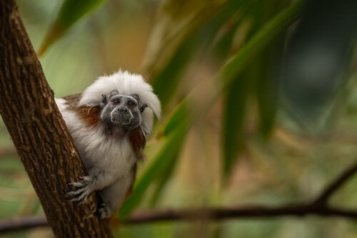 Meet the Amazing Cotton-Top Tamarins