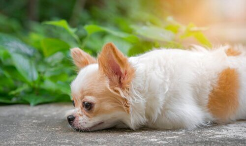 A small dog lying on ground.