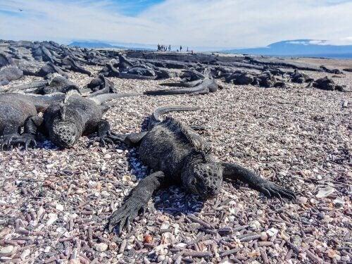 A marine iguana on a beach.