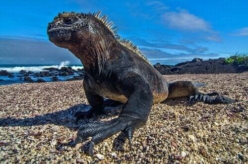 An iguana on the beach.