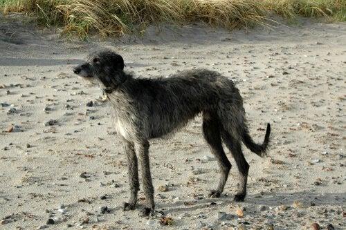 A hound on a beach.