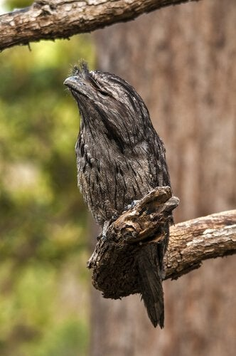A tawny frogmouth in the trees.