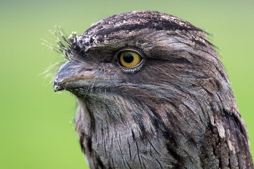 Tawny Frogmouth: Everything You Should Know