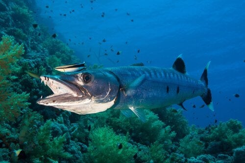 A barracuda in the ocean.