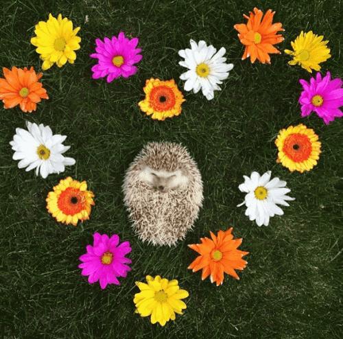 Meet Huff the 'vampire' hedgehog.