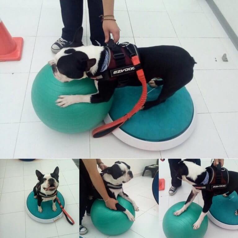 A dog on two balance balls.