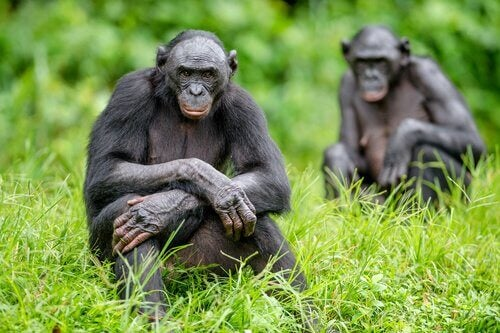 A picture shows two bonobos sitting in a grassy field looking at the camera.