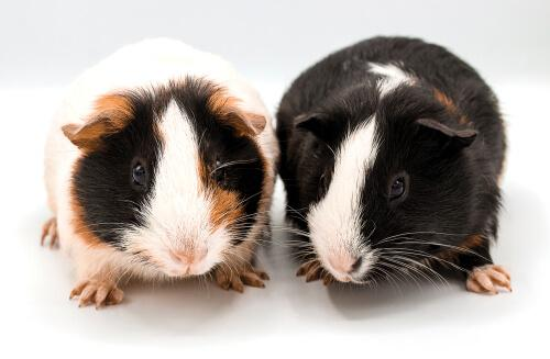 Learn Some Fun Facts About Guinea Pigs!