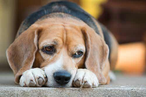 Discover the Dangers of Diabetes in Dogs