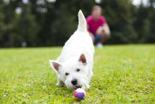 A small dog is playing in a field with a ball.