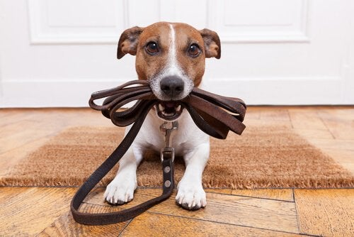 A dog with a leash in its mouth.