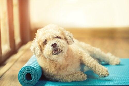 A dog lying down on a half unrolled yoga mat.