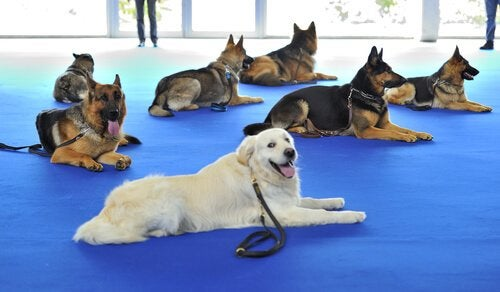 A group of dogs (mostly German shepherds) laying on the floor in a big training room