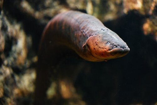 The life cycle of eels involves metamorphosis.