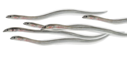 The Life Cycle of Eels