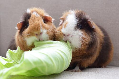 Two guinea pigs munching on a piece of lettuce.