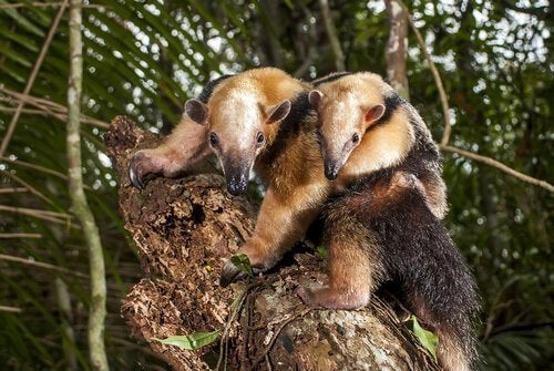 Two collared anteaters in a tree.