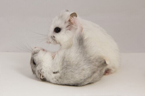 Two hamsters fighting.