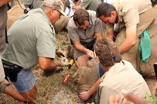 Park rangers are injecting venom into a rhinoceros' horn