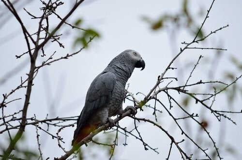 A grey parrot on a branch.