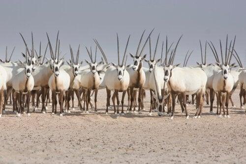 A herd of oryxes.