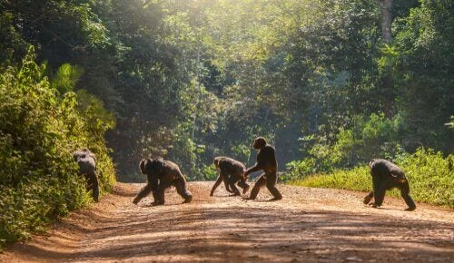 A group of primates walking across a wide dirt and gravel road in a forest.