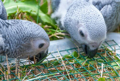 Two grey parrots eating.