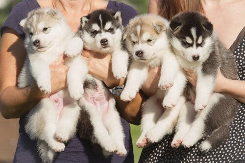 Husky puppies held by people.