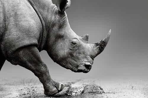 Injecting Venom into Rhinoceros Horns to Protect Them