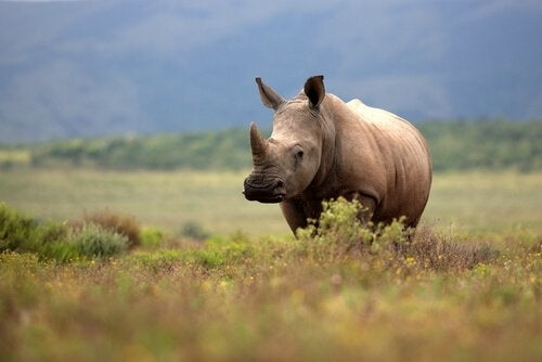 Populations of rhinoceroses in the wild are diminishing.