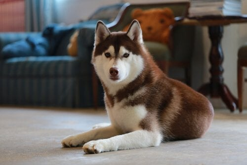 A small brown and white husky.