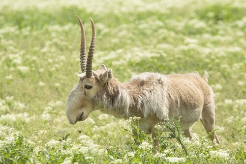 An old, ragged-looking saiga antelope standing in a meadow.