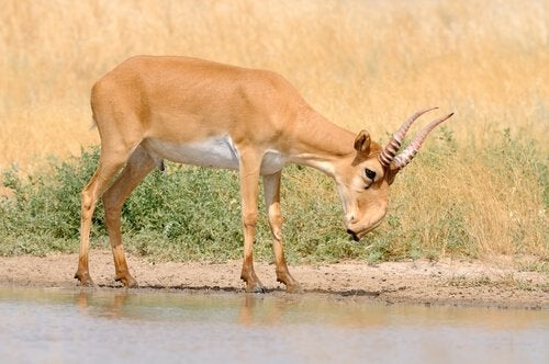 A saiga antelope standing at the edge of a small pool of water.