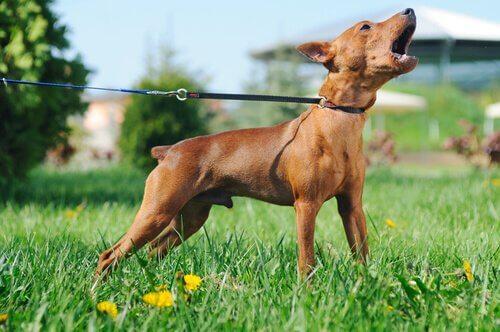 A dog barking in a field.