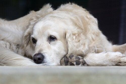 A sick dog lies on a bed.
