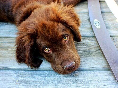 A sad dog lying on the floor.