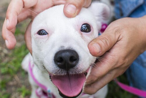 Someone checking a dog's eye.
