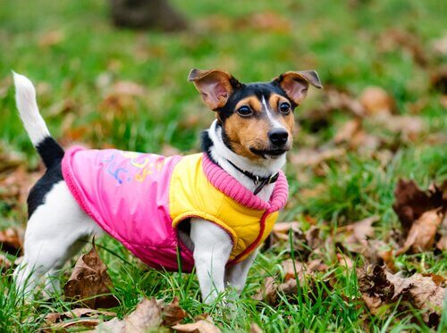 A dog with a vest.