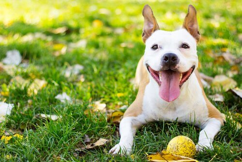 A happy looking dog lying on the grass with a ball.