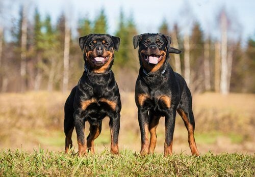 Two Rottweilers standing in a field.