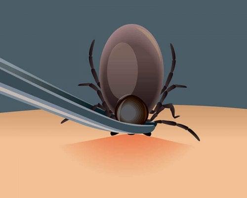 Remove ticks with tweezers.