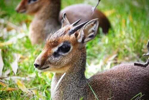 A picture showing a baby dik-dik.