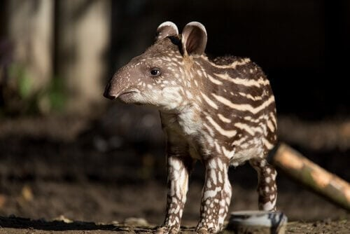 A close-up picture of a baby tapir.
