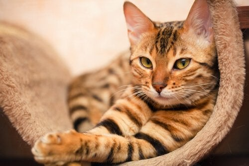 Bengal Cats – A Very Special Crossbreed