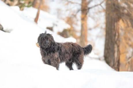 A Bergamasco Shepherd in the snow.
