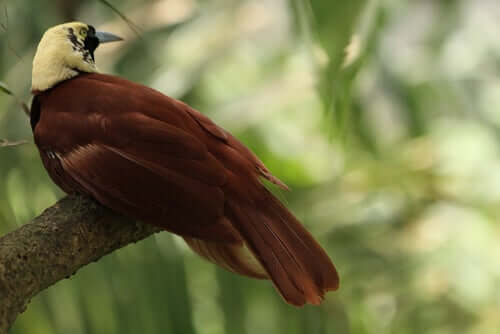 A female bird of paradise is sitting on a branch.