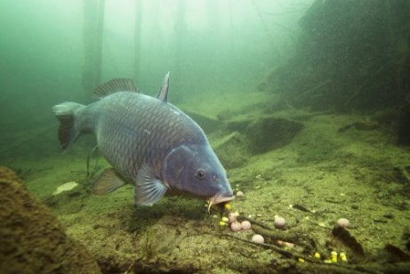 A carp at the bottom of a pond.