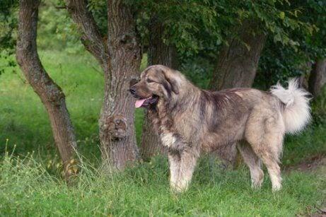 A Caucasian Shepherd dog by a tree.